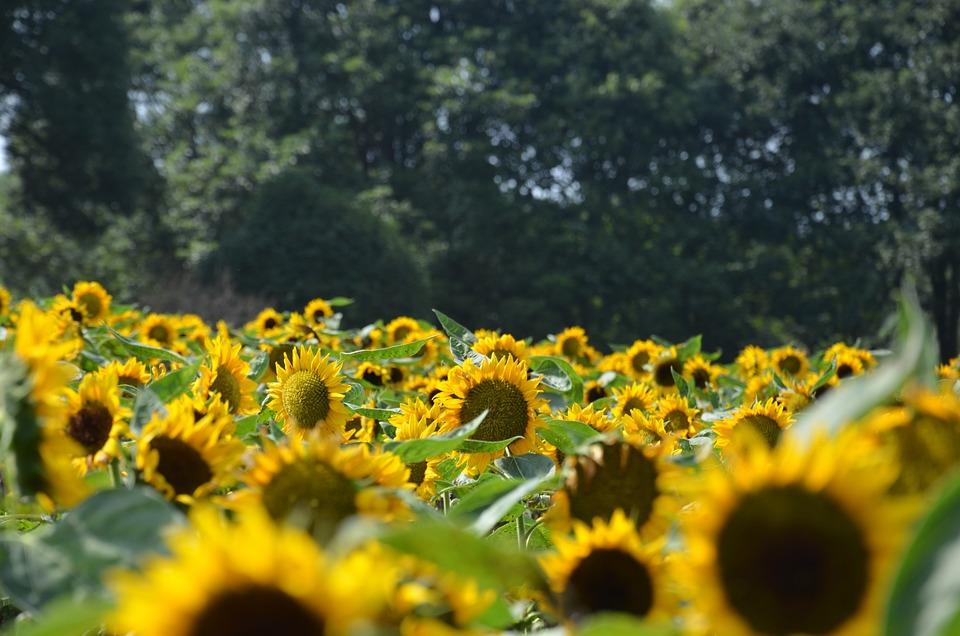 Sunflower, Flower, Yellow
