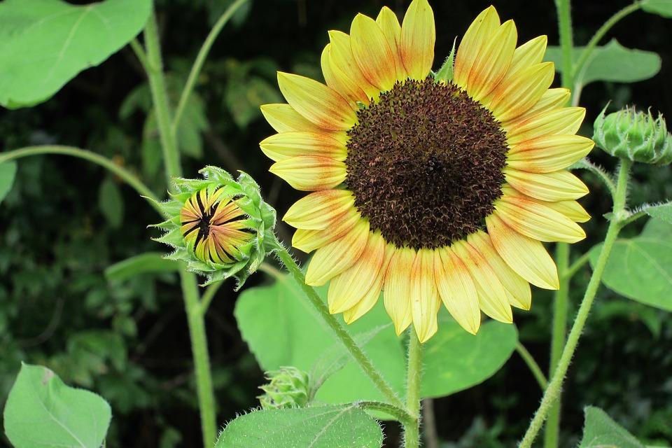 Sunflower, Flower, Bud, Yellow