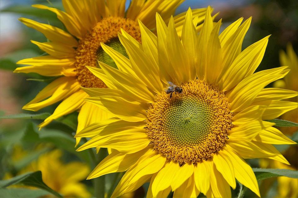 Sunflower, Yellow, The Shining, Flower, Summer, Bee