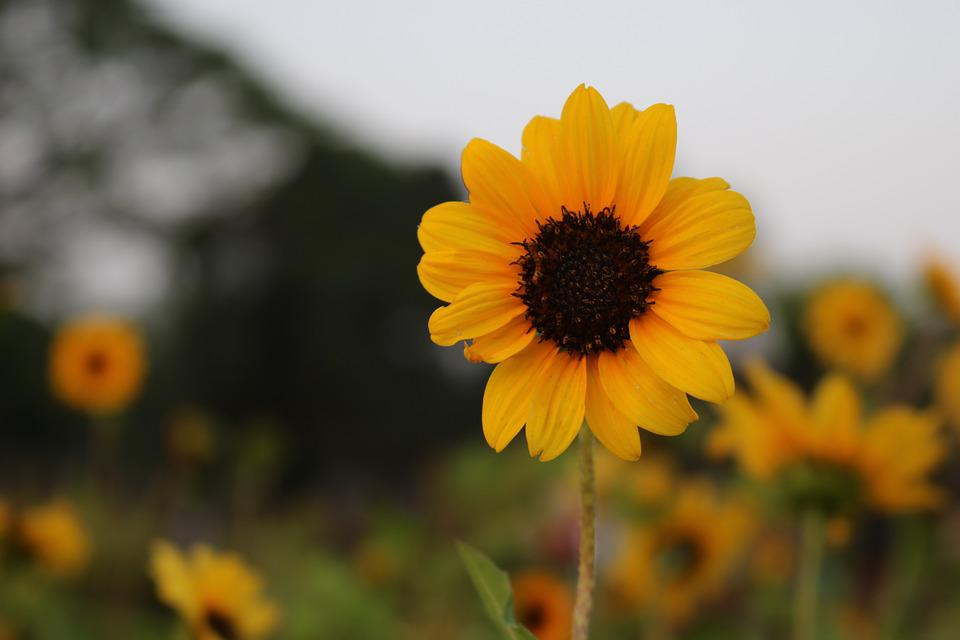 Free photo yellow flower sunflower summer flowers outdoor max pixel sunflower yellow flower summer flowers outdoor mightylinksfo