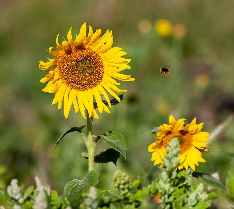 Sunflower, Yellow Flower, Wild Sunflower