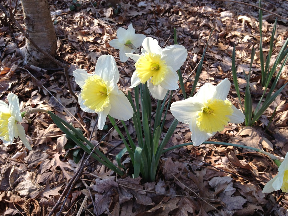 Daffodils, Flower, Yellow, White, Spring, Floral