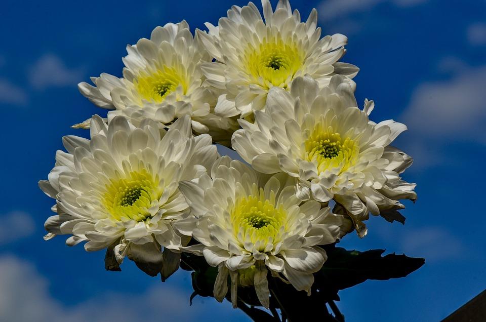 Chrysanthemums, Garden, Yellow, White, Flower, Nature