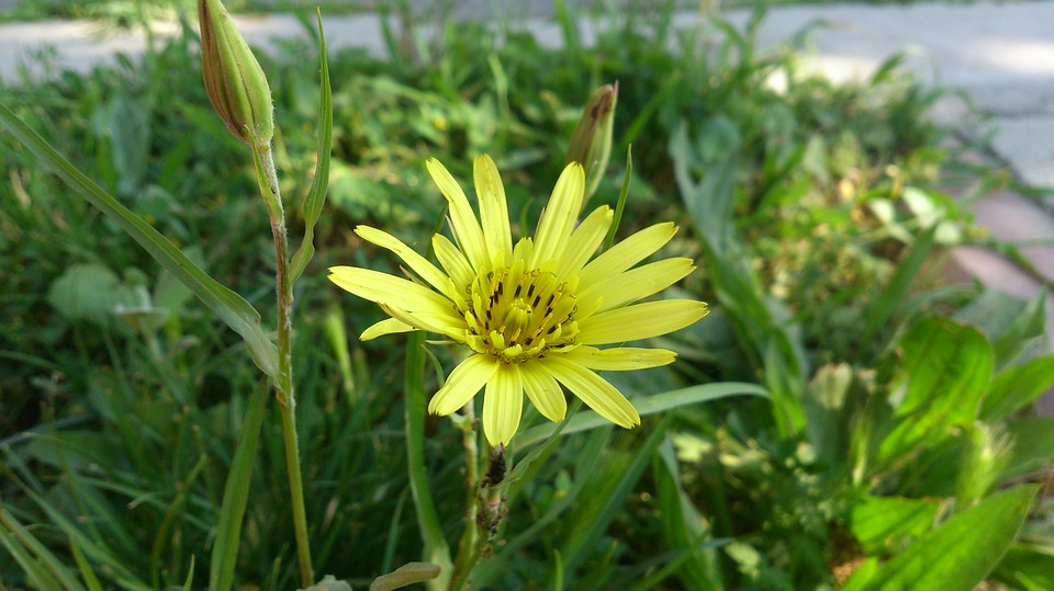 Daisy, Yellow Daisy, Yellow Flower