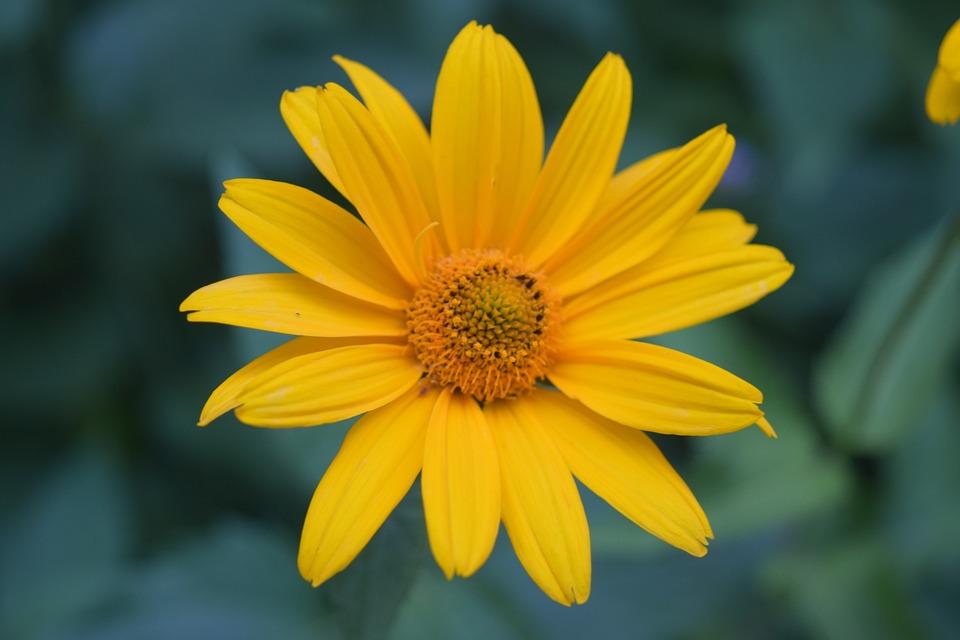 Flower Yellow, Daisy Yellow, Yellow, Closeup