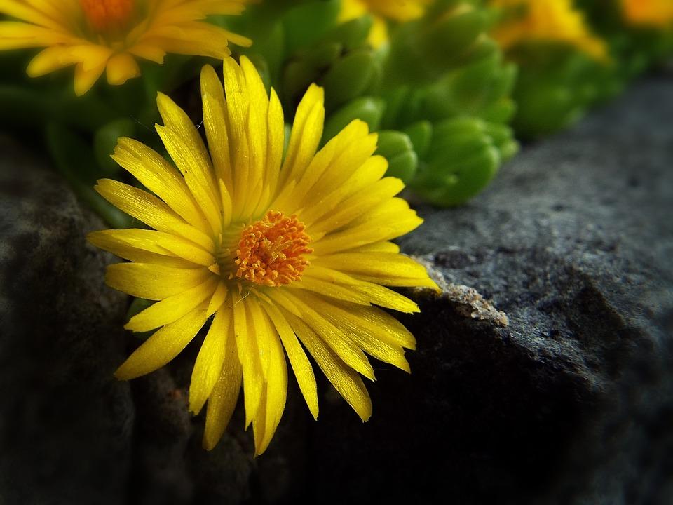 Yellow Flower, Yellow, Flower, Garden, Macro