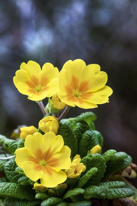 Primrose, Wildflowers, Yellow Flowers, Bloom, Blossom