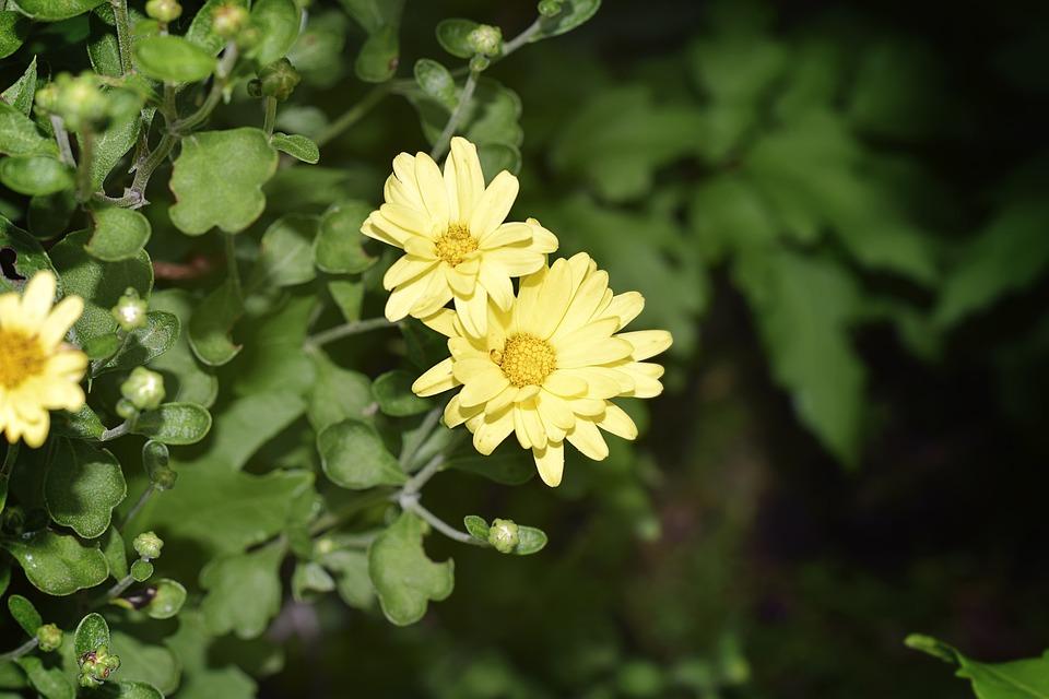 Free photo yellow flowers chrysanthemum mums flower yellow max pixel flower yellow chrysanthemum mums yellow flowers mightylinksfo
