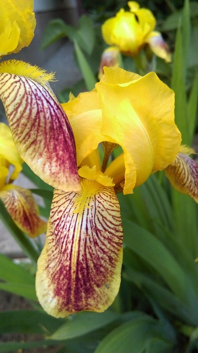 Iris, Yellow, Summer, Flowers, Flower, Bright, Closeup