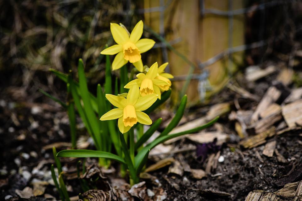 Daffodils, Spring Flowers, Yellow Flowers, Incomplete