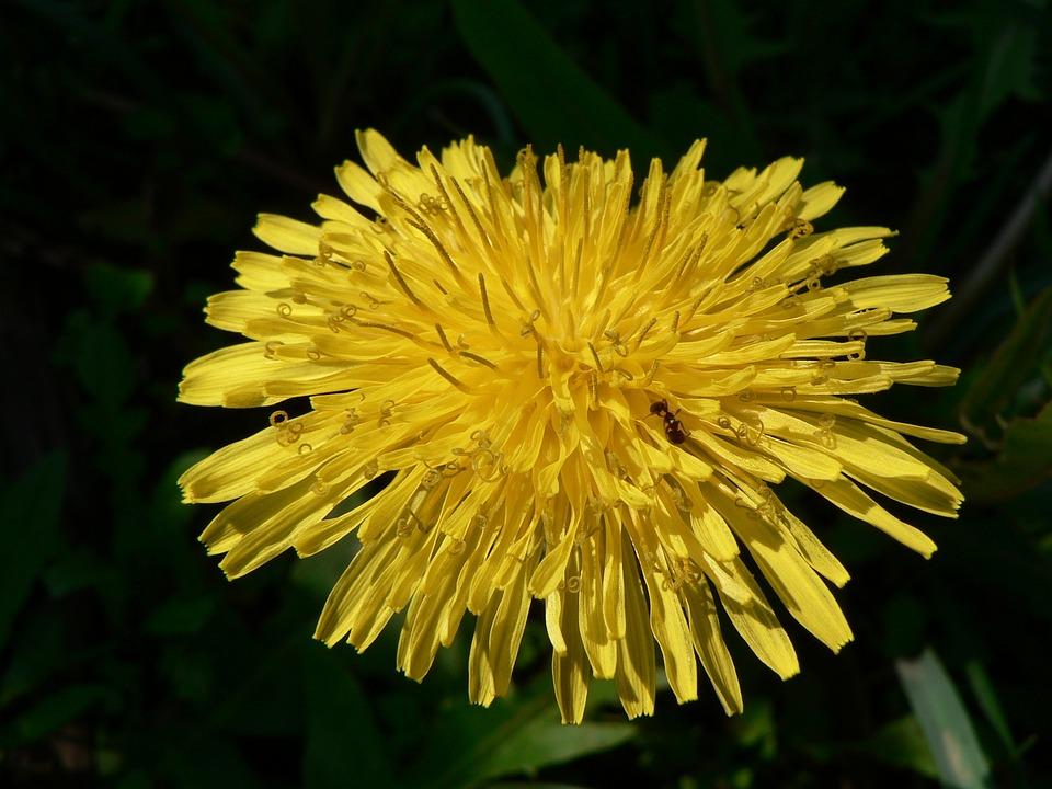 Dandelion, Yellow, Flora, Flowers, Blowball