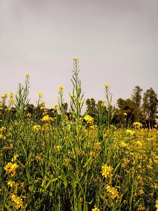 Mustard, Flowers, Field, Yellow Flowers, Bloom, Leaves