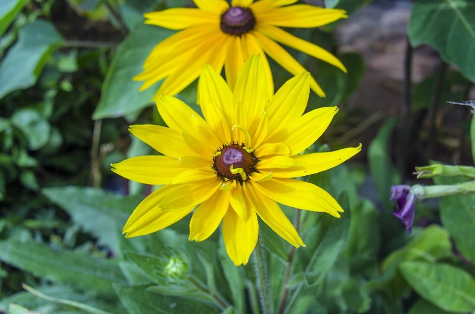 Rudbeckia, Flower, Yellow Flowers, Garden Flowers