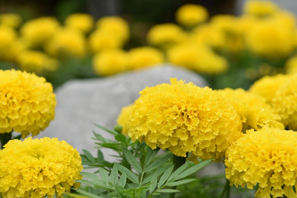 Marigold Flower, Flowers, Nature, Yellow