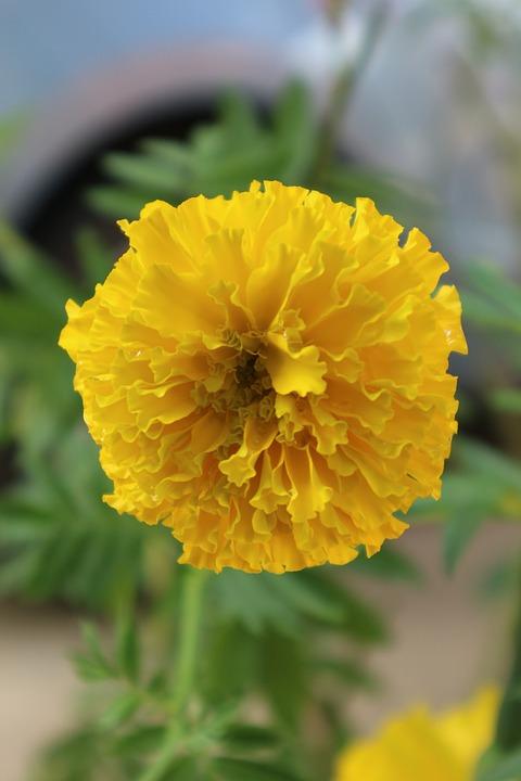 Free photo yellow flowers marigold yellow pretty nature max pixel marigold nature yellow pretty yellow flowers mightylinksfo