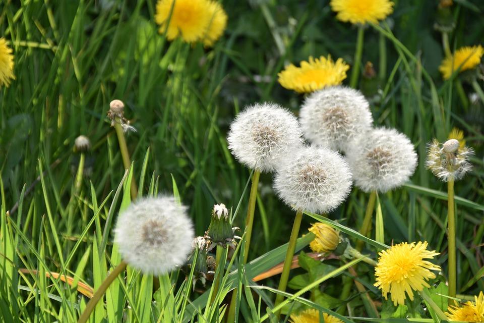 Egret Of Pisenlit, Yellow Flowers Of Dandelion