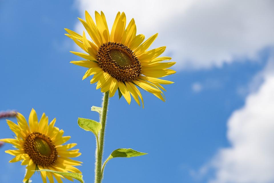 Sunflowers, Flowers, Yellow Flowers, Petals