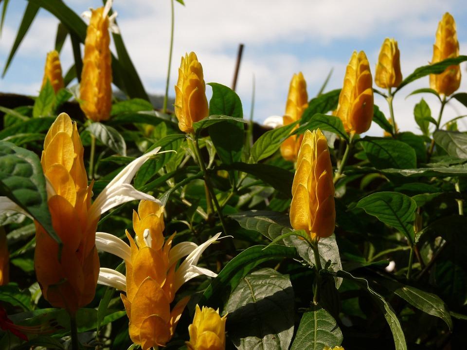 Flowers, Sky, Ubatuba, Flower, Yellow, Garden, Nature
