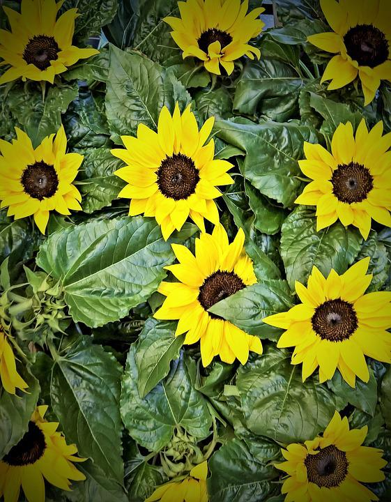 Sunflower, Plant, Yellow Flowers, Summer, Bright, Pots