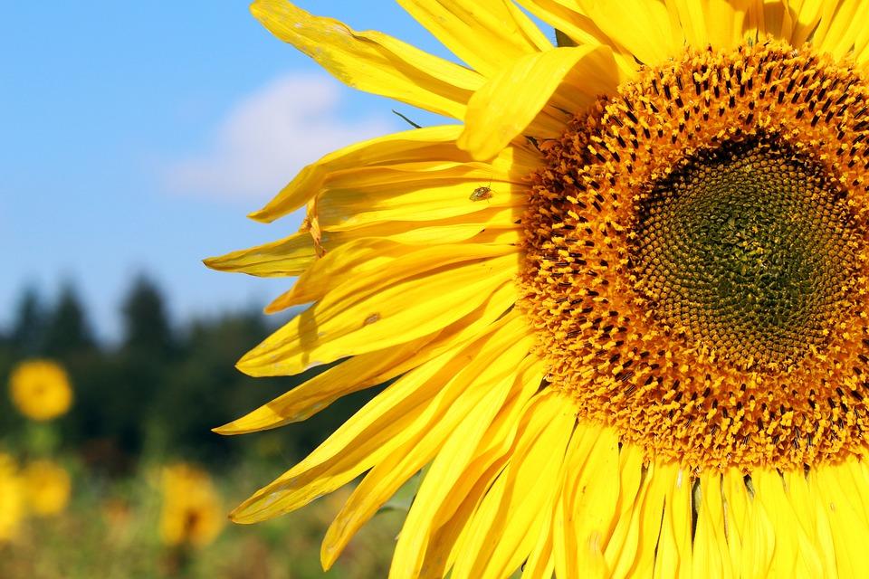 Free photo yellow flowers sunflower sunflower field summer max pixel sunflower sunflower field yellow summer flowers mightylinksfo