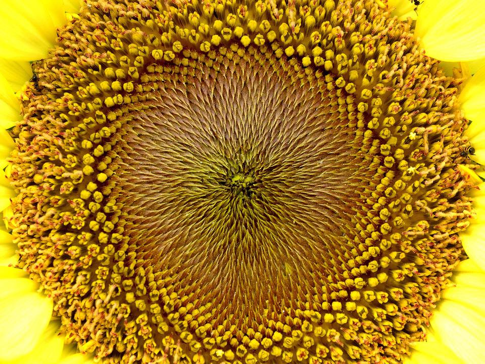 Yellow, Flower, Sunflower, Yellow Flowers, Spring