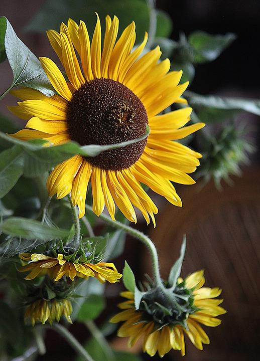 Free photo yellow flowers sunflowers flowers large flowers max pixel sunflowers flowers yellow flowers large flowers mightylinksfo