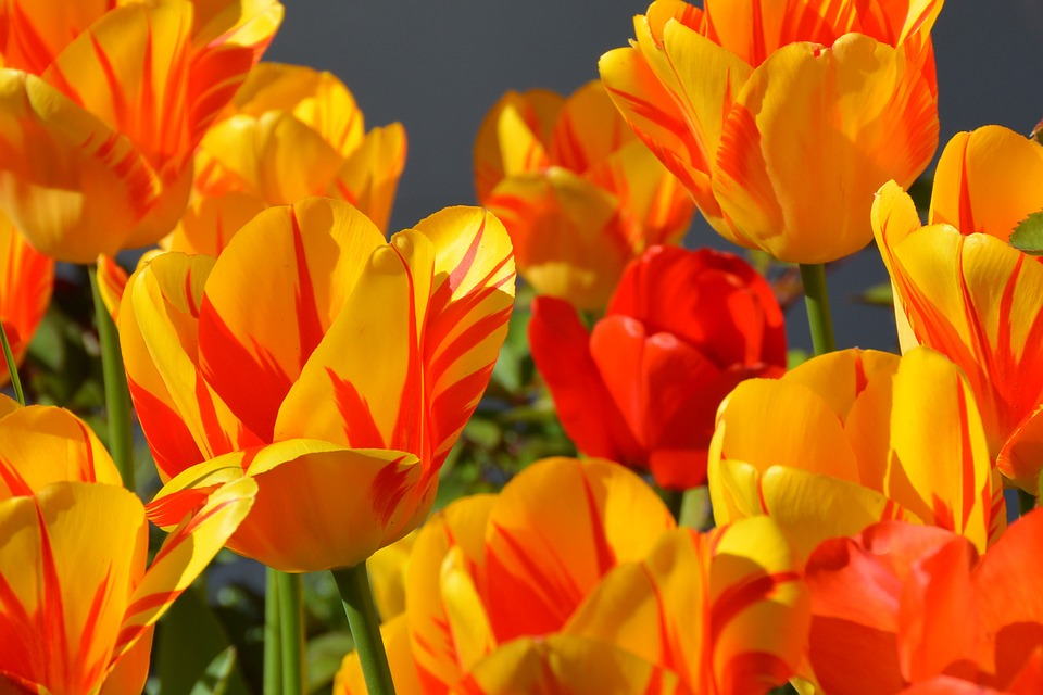Tulips, Tulip Flower, Flowers, Red, Yellow, Orange