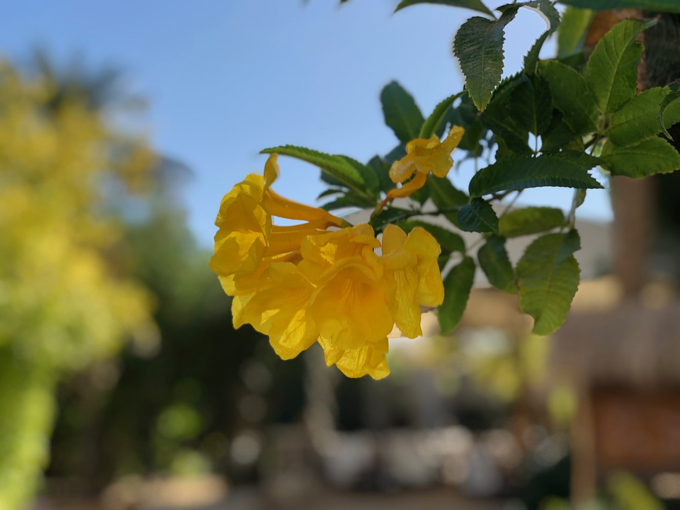 Yellow Bells, Flowers, Leaves, Yellow Flowers