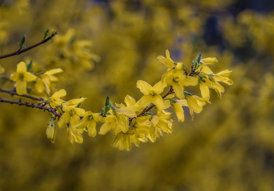 Forsythia, Yellow Bush, Yellow Flowers, Spring, Blooms