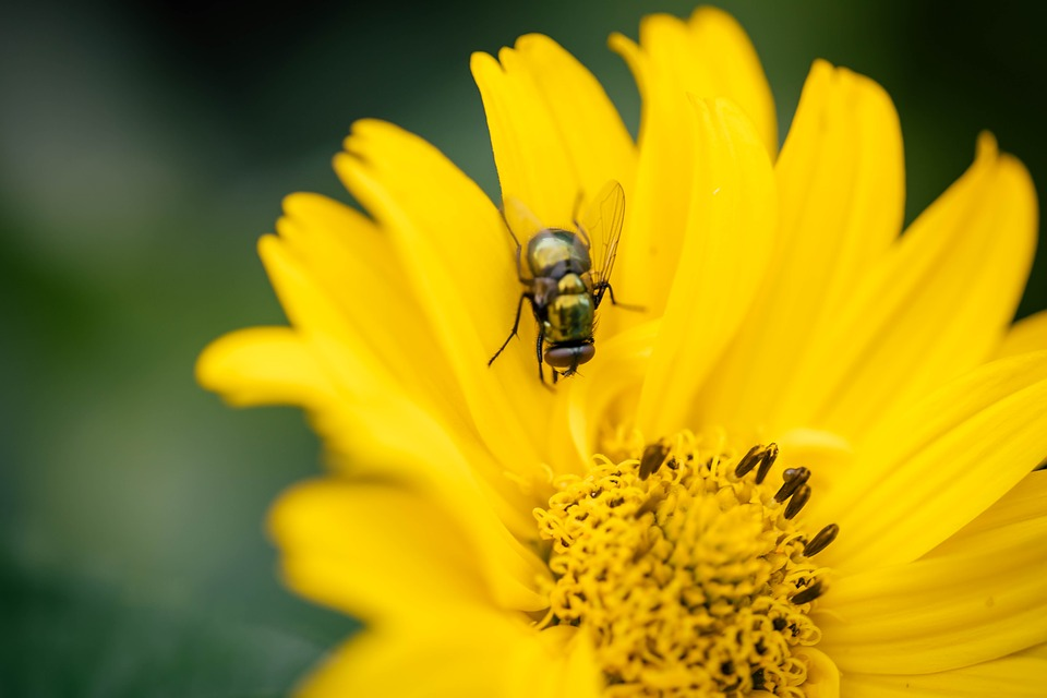 Fly, Flower, Insect, Blossom, Bloom, Macro, Yellow