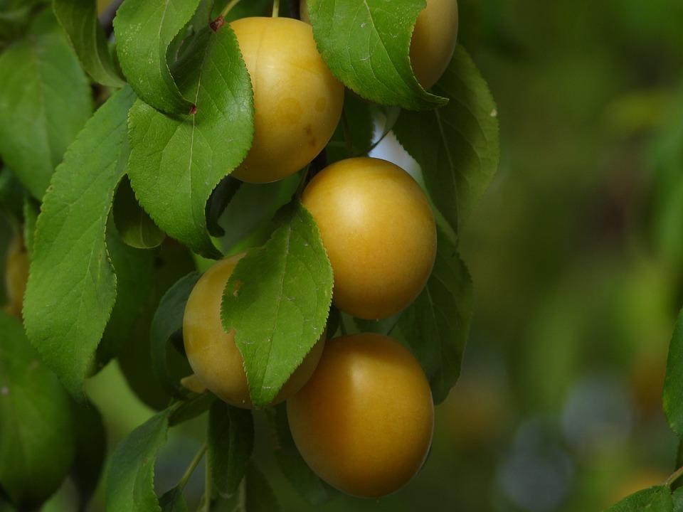 Plum, Fruit, Tree, Foliage, Sour, Yellow, Food