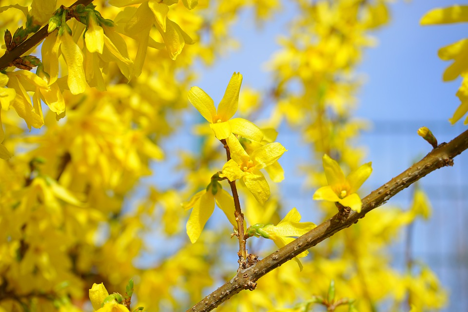 Forsythia, Blossom, Bloom, Yellow, Gold Lilac, Flower