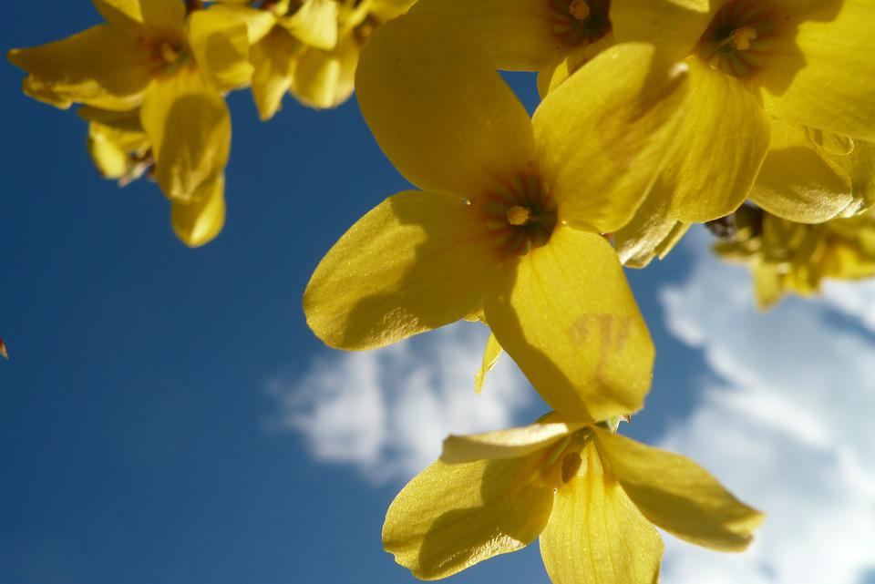 Forsythia, Sky, Spring, Nature, Easter, Yellow, Flower