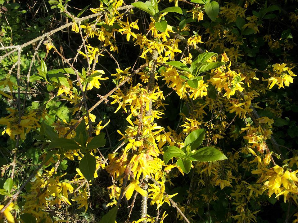 Forsythia, Yellow, Spring, Gold Lilac, Golden Bells