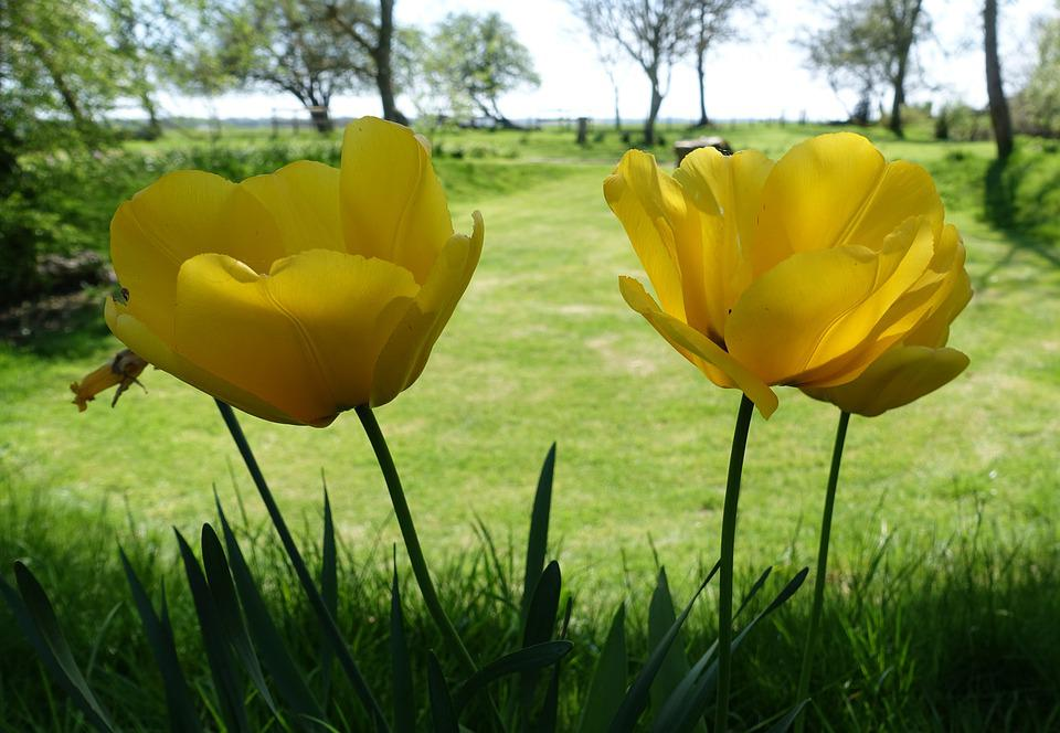 Tulip, Yellow, Spring, Flowers, Tulips, Bloom, Garden