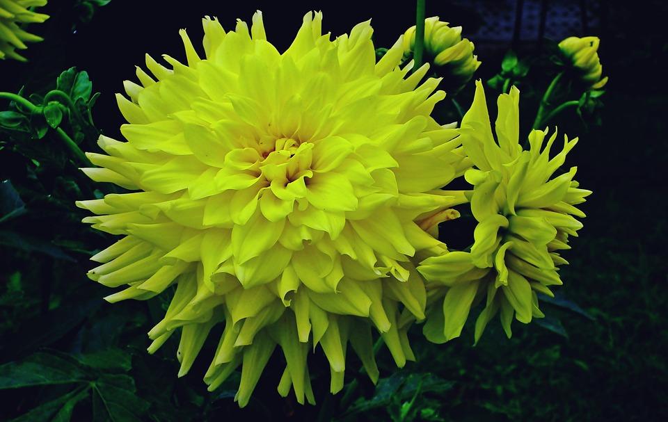 Dahlias, Flowers, Yellow, Garden, Summer