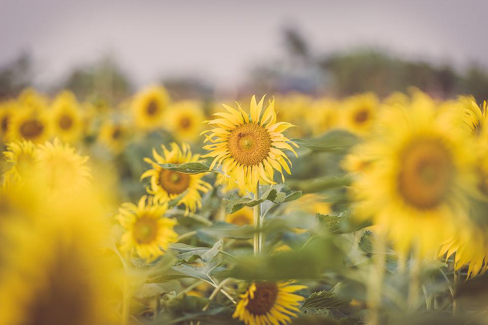 Sunflower, Garden, Nature, Summer, Yellow, Bloom, Plant