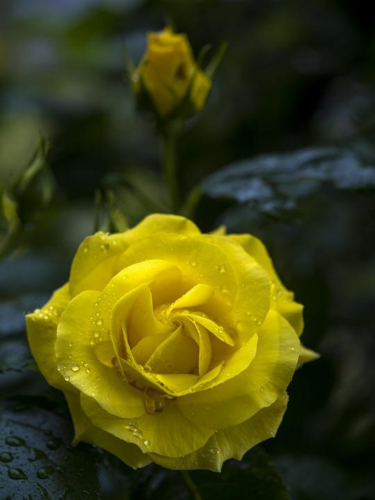 Rose, Yellow, Flowers, Nature, Plants, Garden