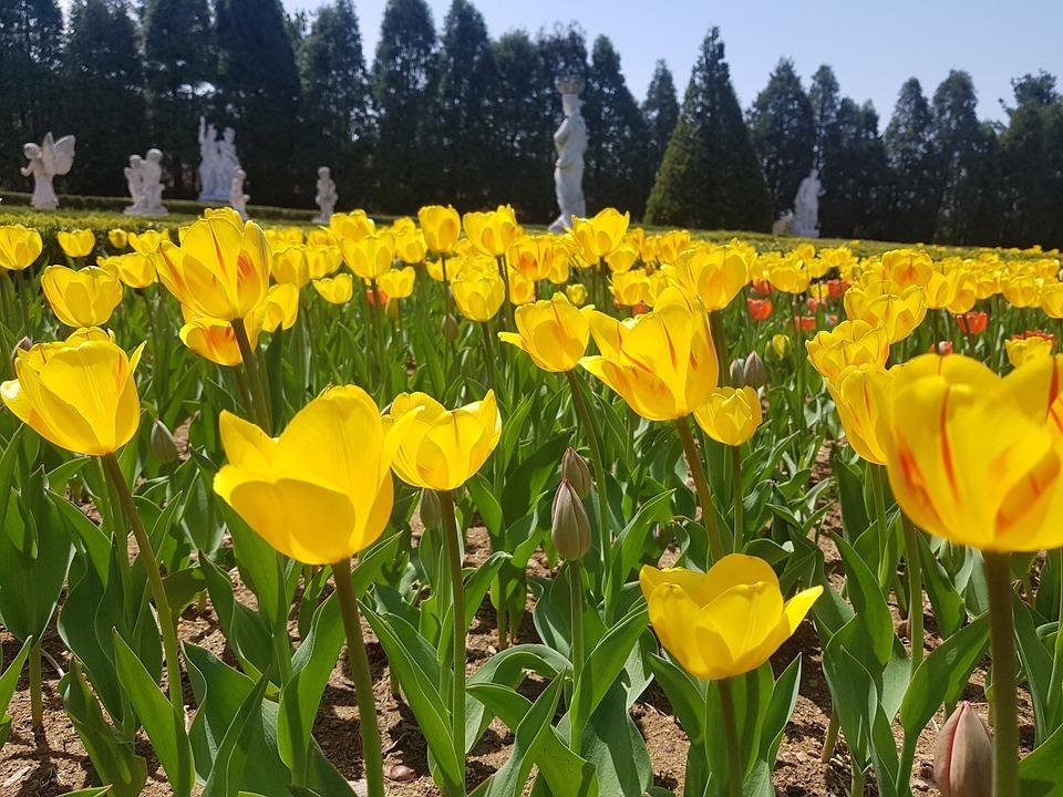 Spring, Tulip, Garden, Yellow, Yellow Flower, Landscape
