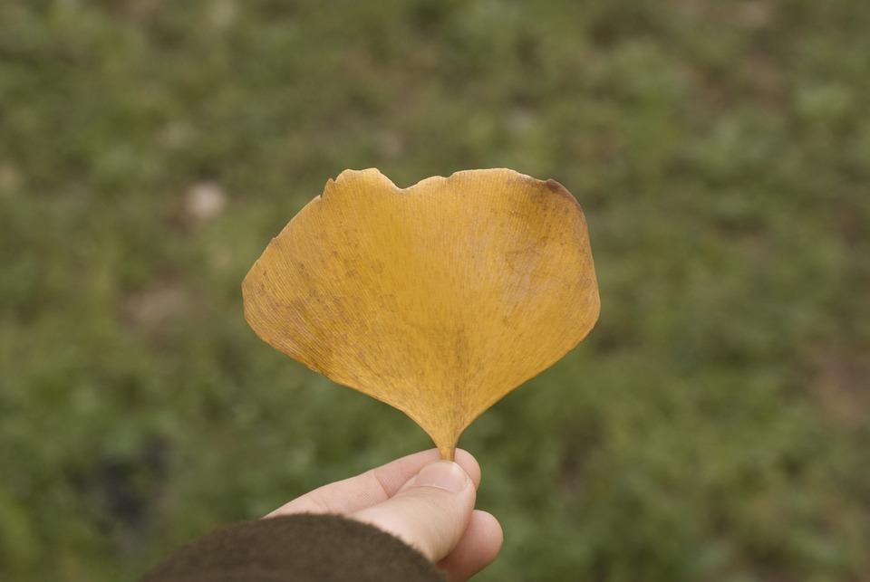 Ginkgo, Autumn, Yellow