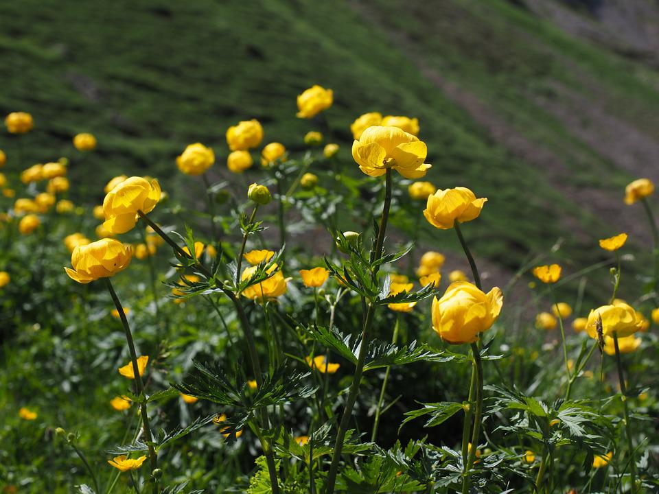 Globe Flower, Flowers, Yellow, Trollius Europaeus