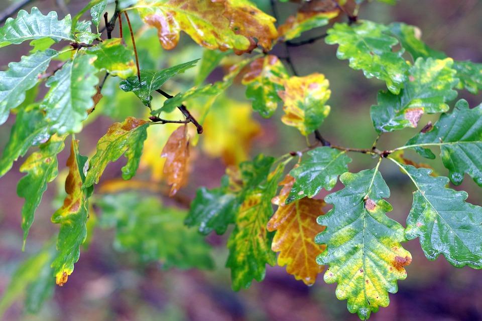 Oak, Foliage, Yellow, Golden, Colorful, Wet, Rain