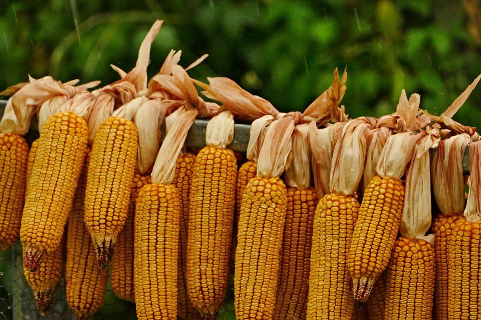 Corn On The Cob, Drying, The Harvested, Grains, Yellow
