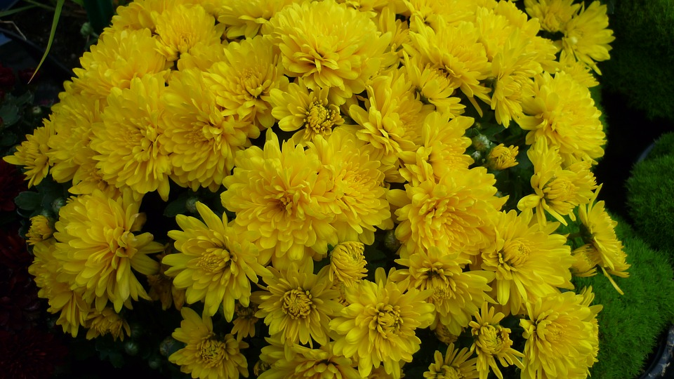 Herbstaster, Flower, Many, Yellow, Flowers
