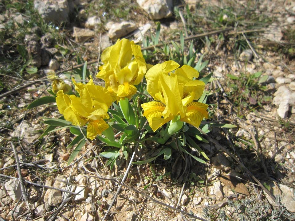 Yellow Iris, Iris Of The Garrigues, Iris Lutescens
