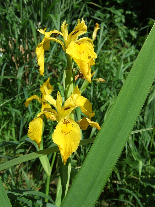 free photo yellow iris plant iridaceae swamp iris iris flower, Natural flower