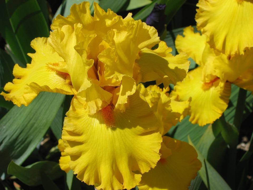 Yellow Iris, Vuillerens, Spring