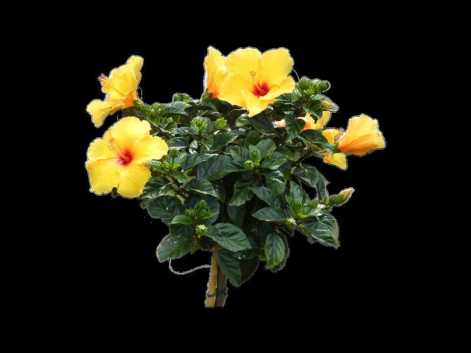 Hibiscus, Yellow, Flowers, Flower, Floor, Isolated