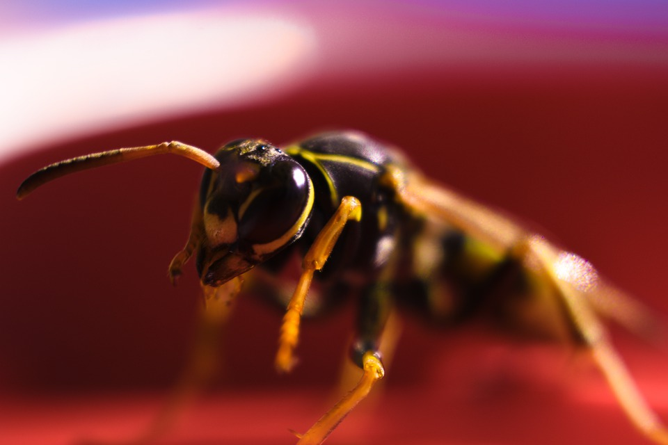 Wasp, Insect, Warrior, Predator, Yellow Jacket, Wings