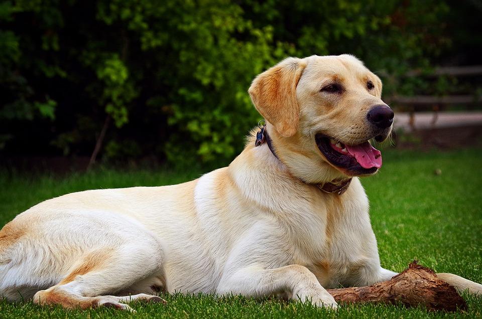 Yellow Lab, Yellow Labrador, Golden Labrador, Labrador